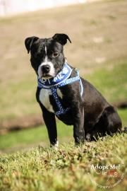 ★12/4/14 SL★•TX• - Meet Hercules, a 1 year Terrier, Pit Bull / Mix available for adoption in WACO, TX