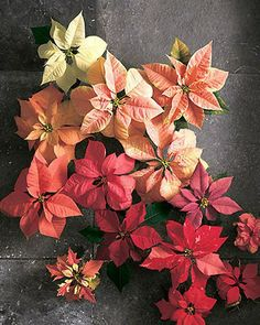 Wedding Ideas: holiday-poinsettia-red-ombre-plants