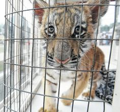 Great article by Glenn Williams about the BIG CAT PUBLIC SAFETY PROTECTION ACT