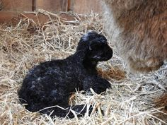 lI'd introduce this boy, but neither he nor his black brother have names yet. Got any suggestions? Their mothers name is Porridge Spring Lambs, Mothers, Names, Instagram Posts, Black, Black People