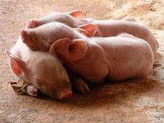 I love Piglets discovered by Ʈђἰʂ Iᵴɲ'ʈ ᙢᶓ on We Heart It