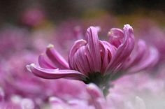 New print available on lanjee-chee. - 'Pink Chrysanthemum by Lanjee . - My site Chrysanthemum Flower, New Print, Artwork, Flowers, Plants, Pink, Work Of Art, Flora, Royal Icing Flowers