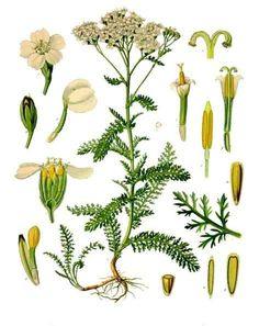 Yarrow Achillea millefolium family: Asteraceae also known as: Common Yarrow; Thousand Leaf; other varieties: Musk Yarrow (Achillea moschata); Illustration Botanique, Plant Illustration, Botanical Illustration, Healing Herbs, Medicinal Plants, Aromatic Herbs, Botanical Drawings, Botanical Prints, Impressions Botaniques