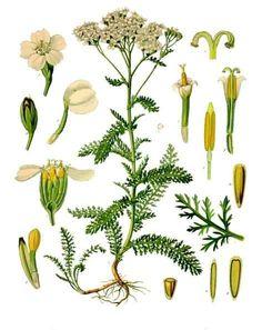 Yarrow (Asteraceae).   Achillea millefolium - Köhler–s Medizinal-Pflanzen-149 - Achillea millefolium.   Yarrow.  achillée jaune.  Order:  Asterales.    Family: Asteraceae.   Genus: Achillea  - Wikipedia, the free encyclopedia