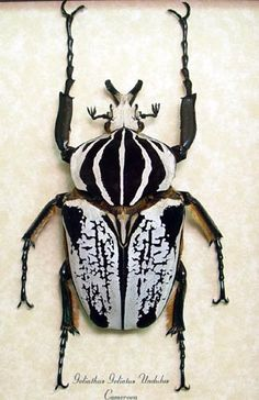 Goliath Beetle, I thought these guys were endangered and put on the red list?