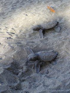 De jeunes tortues marines viennent de briser leurs coquilles et courent vers la mer. Anse Noire #Martinique.