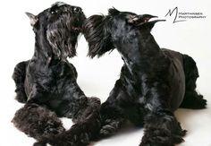Black Schnauzer, Schnauzer Breed, Standard Schnauzer, Miniature Schnauzer Puppies, Schnauzers, Dog Best Friend, Dog Friends, Giant Shnauzer, Miniature Dog Breeds