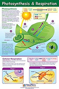 Visualize the Process of Photosynthesis & Respiration. Comprehensive coverage of the steps of photosynthesis and the two stages of respiration. Biology Classroom, Biology Teacher, Cell Biology, Ap Biology, Science Biology, Teaching Biology, Science Education, Life Science, Physical Science