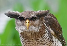 """Stunning close-up of a Barred Eagle Owl near Kuala Lumpur, Malaysia by """"OrionMystery"""" Art Pictures, Animal Pictures, Owl Species, List Of Birds, Owl Rocks, World Birds, Apex Predator, Horned Owl, Owl Art"""