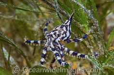 Blue-ringed Octopus photo