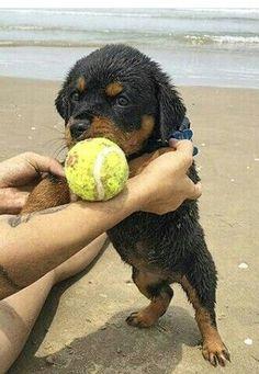 Rottweiler beach day