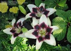 ... : Asiatic Lily 'Tango Black Spider' (Lilium) 6 by ms_greenjeans