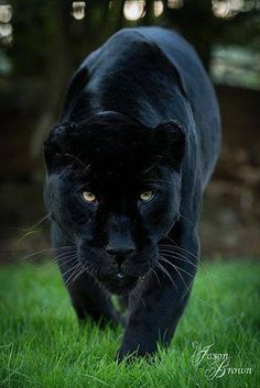 Panthère Noir.