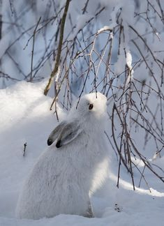 Winter hare