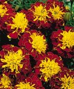 Hero Spry (Marigold/French) - D1069C | Stokes Seeds
