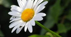 Leucanthemum x superbum Shasta daisies, members of the aster family, are perennial flowers that bloom throughout most of summer. They are fairly drought tolerant and prefer well-drained soil. Shasta daisies grow to be one to three feet tall and plant will clump to one to two feet wide. They...