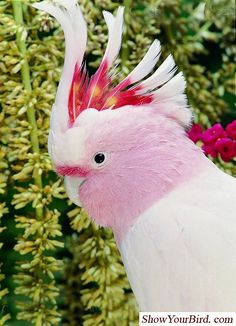 Pink Cockatoo - nature - bird