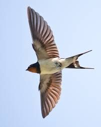 swallow bird in flight photos - Google Search