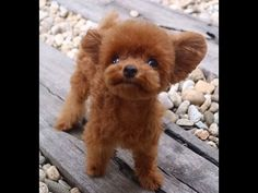 Where Can I Buy A Bibi Shasha Dog