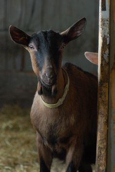 french website - #goatvet Madame Gateau: Monsieur Éile et la chèvrerie