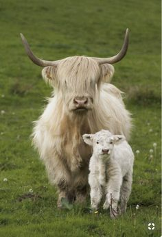 Pretty blonde Highland cow and her fluffy calf. Cute Baby Cow, Baby Cows, Cute Cows, Cute Baby Animals, Farm Animals, Animals And Pets, Baby Elephants, Wild Animals, Scottish Highland Cow
