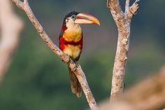 araçari-mulato (Pteroglossus beauharnaesii) por Luís Roberto | Wiki Aves - A Enciclopédia das Aves do Brasil
