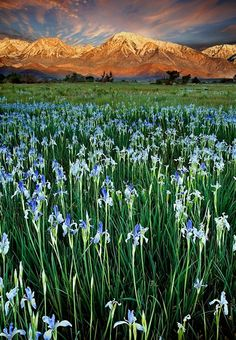 Sierra Nevada,USA | This photo was taken just west of Bishop, with Mt. Tom in the background. Fields of  wild Iris bloom every year and are a beautiful addition to our spring.