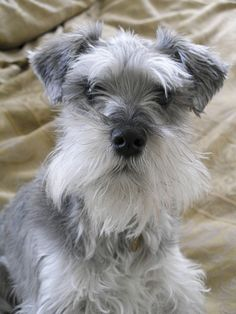 Meet Otis, an adoptable Schnauzer looking for a forever home. If you're looking for a new pet to adopt or want information on how to get involved with adoptable pets, Petfinder.com is a great resource.