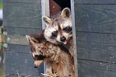As winter approaches learn how to repel rats mice skunks opossums raccoons Backyard Poultry, Chickens Backyard, Getting Rid Of Skunks, Skunk Smell, Rodents, Raccoons, Raising Goats, Raising Chickens, Japanese Beetles