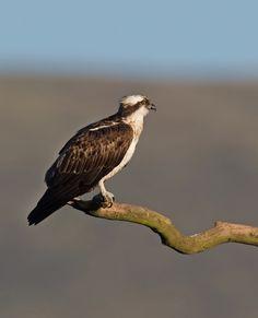 Monty Migrace a Welsh Osprey Přehled | Dyfi Osprey Project