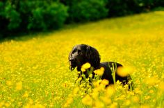 Working Cocker Spaniel and Buttercups