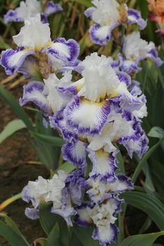Tall Bearded Iris 'Blueberry Parfait'