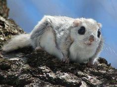 エゾモモンガ Siberian Flying Squirrel、今にも飛ぼうとしているのかな~♪
