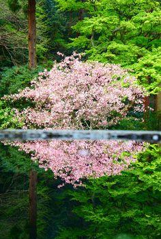 αcafe「4月のリフレクション」#flowering_tree #spring