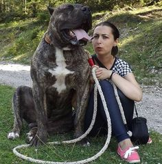 Presa Canario / Romania. Like a giant pitbull. Look at that face