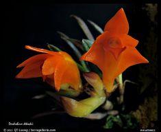 Dendrobium cruthwellii. A species orchid (color)