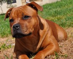 Pitbull Boxer, Pitbull Terrier, Bull Terriers, Cute Dogs And Puppies, Doggies, American Staffordshire Bull Terrier, Staffy Dog, Pit Dog, Cane Corso Dog