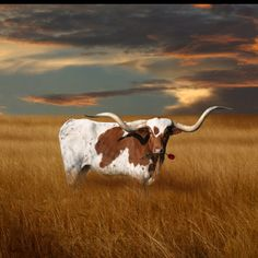 Texas Longhorns look at you like you owe them MONEY! Texas Longhorns, Longhorns Football, Texas Bluebonnets, Longhorn Rind, Longhorn Cattle, Longhorn Steer, Only In Texas, Photo Animaliere, Gado