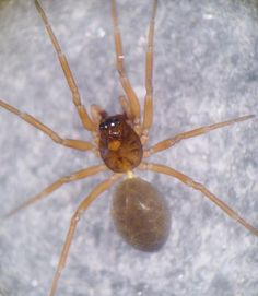 Notioscopus sarcinatus Swamp lookout spider Spiders, Insects, Pictures, Spider