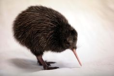 Saving kiwi by being bold - Otago Daily Times
