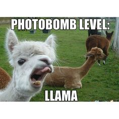 10 Hilarious Llama Memes Thatll Make Your Day! - Funny Baby - 10 Hilarious Llama Memes Thatll Make Your Day! Lovely Animals World The post 10 Hilarious Llama Memes Thatll Make Your Day! appeared first on Gag Dad. Alpacas, Funny Llama Pictures, Funny Photos, Funny Baby Gifts, Funny Babies, Animals And Pets, Funny Animals, Cute Animals, Images Lama