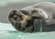 On ice: Taken in Svalbard in Norway, photographer Auden Rikardsen caught this charismatic ...