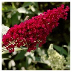Buddleia 'Royal Red' 1pc - Cottage Hill U.S.D.A Hardiness Zone 5-9