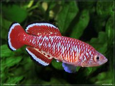 Nothobranchius rubroreticulatus.  Another gorgeous peat-spawning annual notho from Africa.