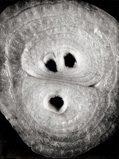 Elsa Thiemann - Detail study of sliced onion. ca.1940
