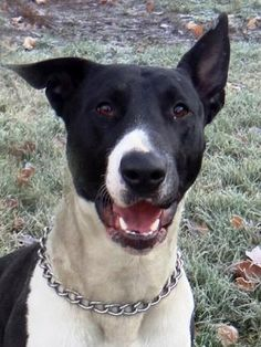 Introducing Mowgli, a very handsome Bull Terrier mix. This spunky guy loves to run and play. Mowgli was ADOPTED! from Seattle Humane, March 2017 Bull Terrier Mix, 2 Year Olds, Seattle, Pitbulls, Adoption, March, Handsome, Guys, Animals
