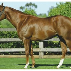 Choisir is a 17 year old chestnut Thoroughbred stallion who stands at Coolmore Stud, The Gr, Thoroughbred Horse, Horse Horse, Horse Racing, Race Horses, Royal Ascot, Three Year Olds, Show Jumping