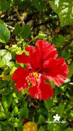A pretty red hibiscus