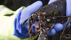 Drastic New England Lobster Decline May Be Linked to Warmer Waters