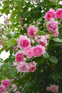 'Jasmina' (öfterblühende Kletterrose, robuste ADR-Rose), edle Blüten, süßer Duft